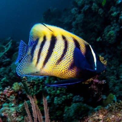 Angel & Butterfly Fish