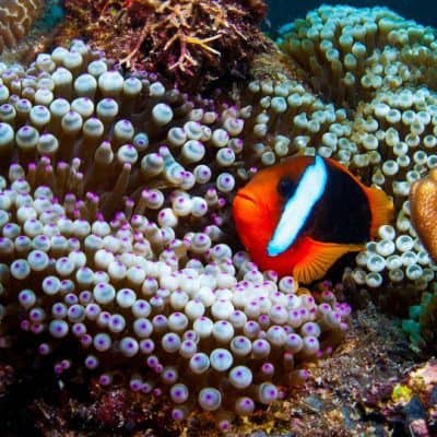 Clownfish or Anemone Fish